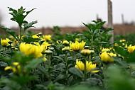 Xuân Về Những Làng Hoa