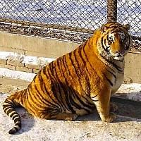 Những chú hổ béo múp dễ thương ở Trung Quốc