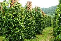 Vườn tiêu Phú Quốc xanh mướt một màu